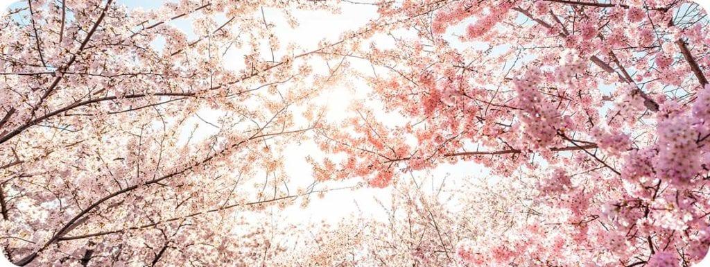 Cherry blossoms in Door County